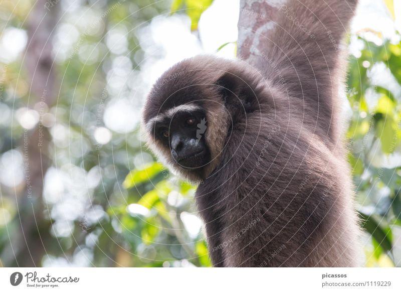 Gibbon im Regenwald Ferien & Urlaub & Reisen Tier Wildtier Abenteuer exotisch Expedition