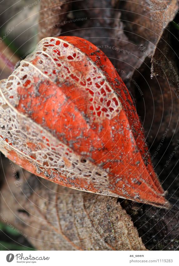 Physalis im Herbst Umwelt Natur Pflanze Erde Blatt Blüte Lampionblume Garten alt hängen verblüht ästhetisch authentisch dreckig exotisch natürlich trocken braun