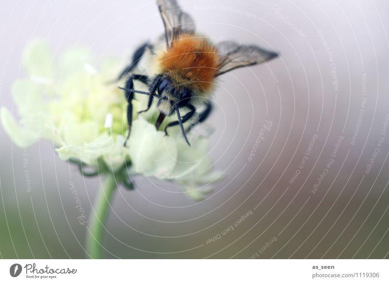 Blüte und Biene Natur Tier gelb Leben klein braun Wildtier authentisch Tierfuß ästhetisch Flügel genießen Wellness Duft Appetit & Hunger harmonisch