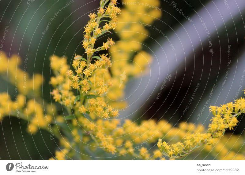 Goldrute im Wind Natur Pflanze schön Farbe Sommer Erholung Landschaft Tier Umwelt gelb Leben Bewegung Herbst Frühling Blüte Garten