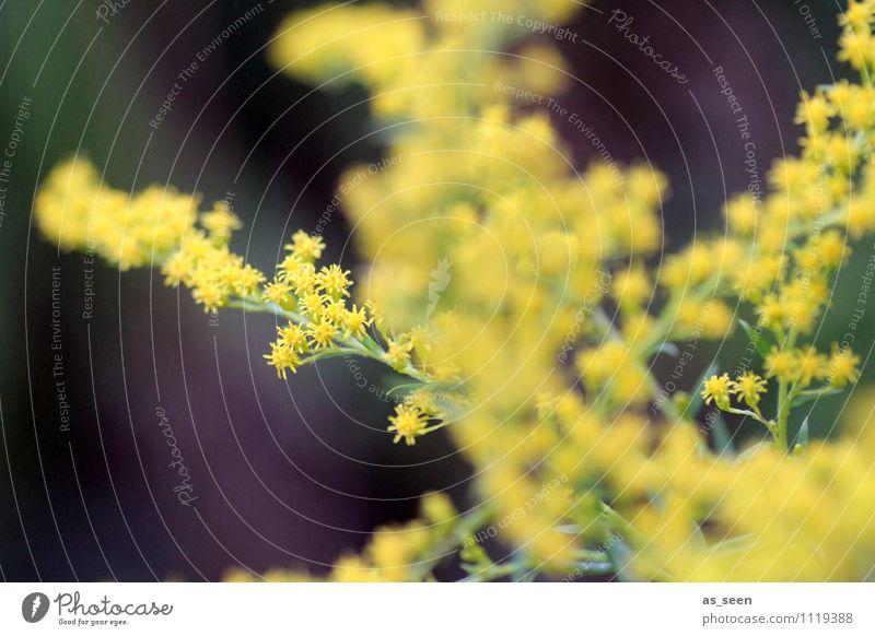 Goldrute schön Gesundheit Wellness Leben harmonisch Wohlgefühl Garten Pflanze Frühling Sommer Herbst Klima Blüte Kanadische Goldrute Solidago Park berühren