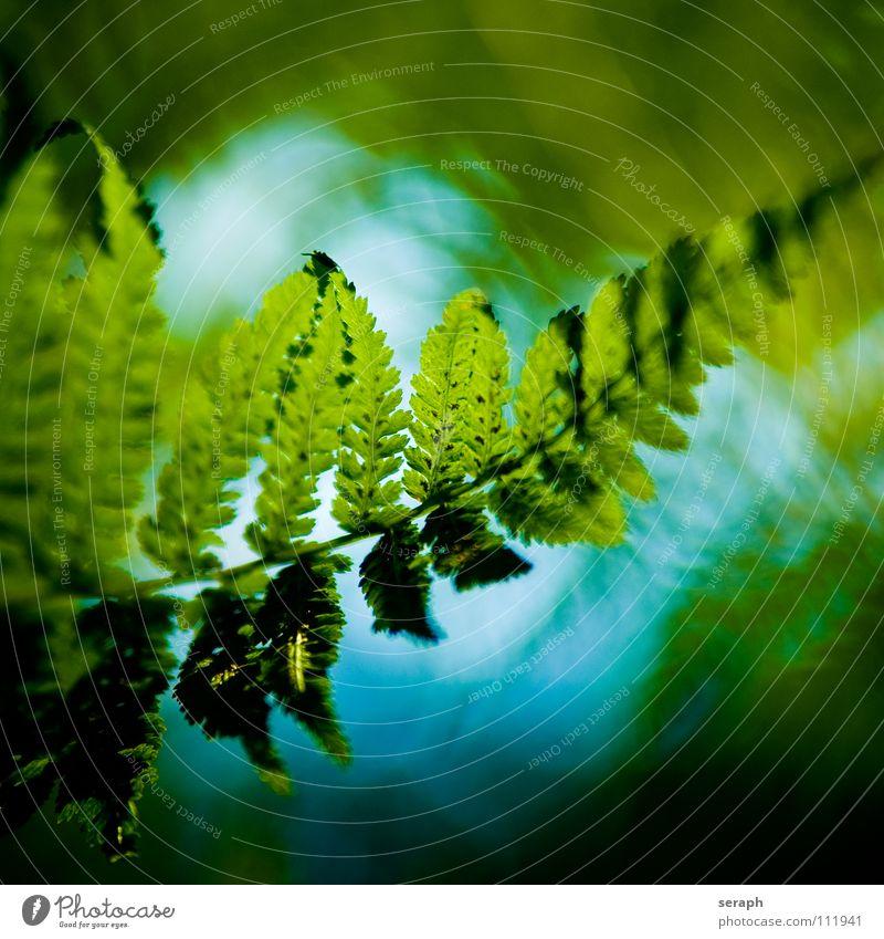 Farnwedel Natur grün Pflanze Blatt natürlich Wachstum frisch Stengel Botanik filigran Farn Blattgrün Echte Farne organisch Sporen gefiedert