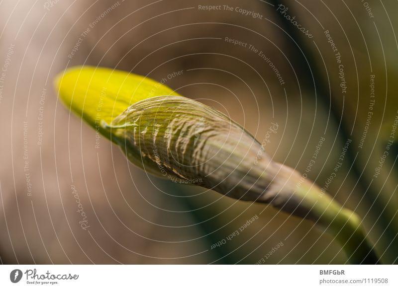 Frühlingserwachen Umwelt Natur Pflanze Blume Blüte Amaryllisgewächse Gelbe Narzisse Narzissen ästhetisch außergewöhnlich nah gelb Frühlingsgefühle Vorfreude