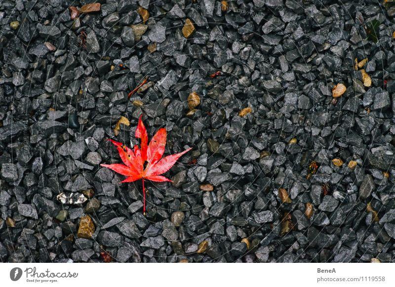 Herbst Natur Pflanze Erde Blatt Ahornblatt Stein alt liegen grau orange rot Vergänglichkeit Wandel & Veränderung Kieselsteine Japanischer Ahorn herbstlich