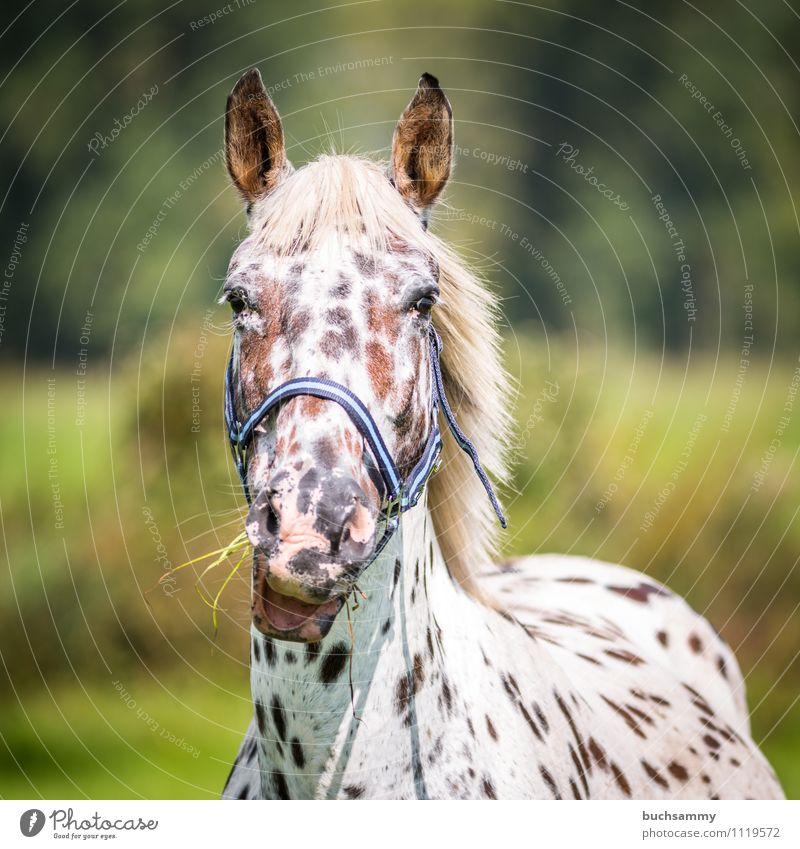 Hungrige Stute Tier Gras Haustier Nutztier Pferd 1 Fressen braun grün weiß Bauernhof Schimmel Sonnenschein Säugetier reiten Zaumzeug Farbfoto Außenaufnahme Tag