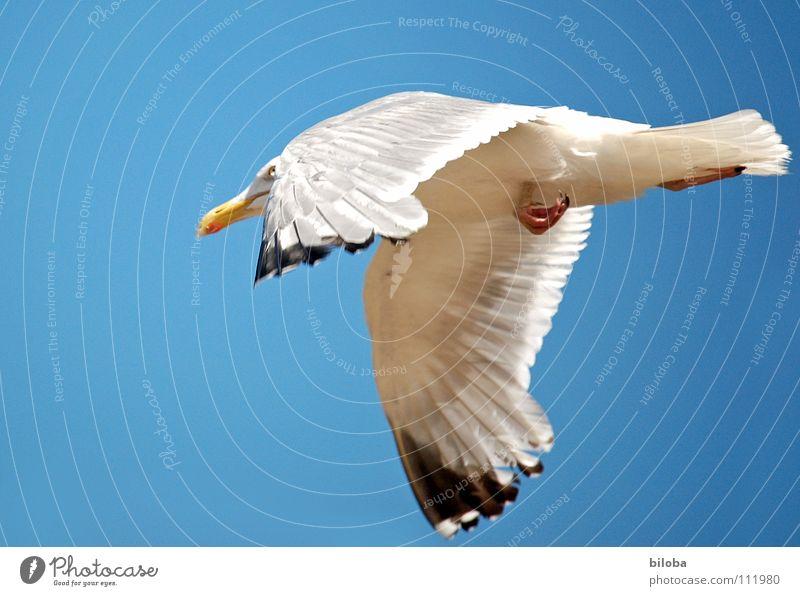 bloss weg hier! Möwe weiß schwarz Geschwindigkeit Flucht gehen Meeresvogel Vogel Tier Federvieh Unendlichkeit schön stahlblau tief Außenaufnahme See Belgien