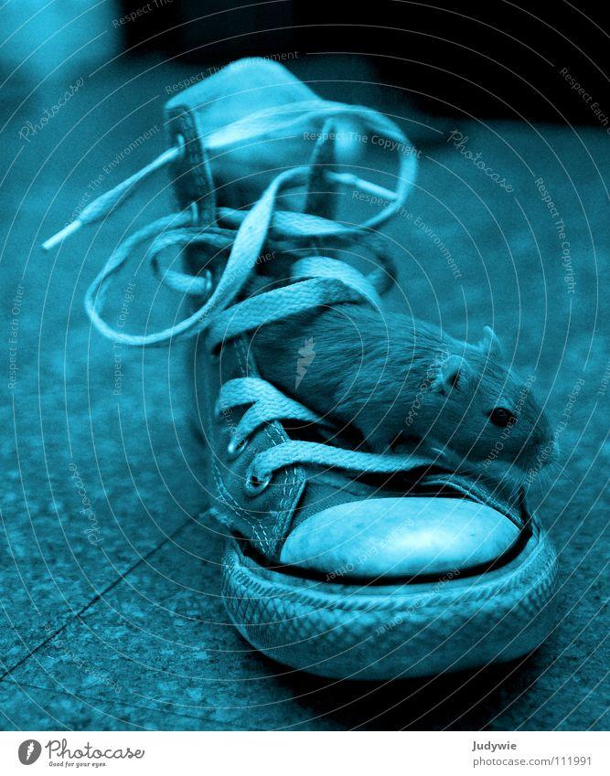 Maus im Schuh blau Farbe Spielen Schuhe Bekleidung verrückt süß Coolness Chucks Maus Turnschuh Säugetier Neonlicht frech selbstbewußt grell
