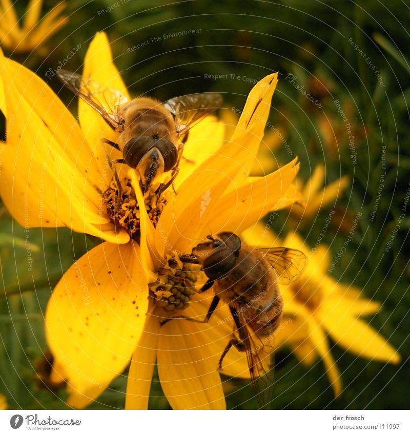 zusammen isst man weniger allein Biene Blume Staubfäden gelb Honig Insekt Sommer Frühling Zusammensein Blüte Nektar Natur Garten Pflanze paarweise Tierpaar