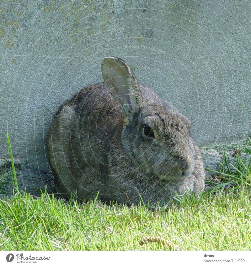 Ein Ohrenblick kalt Auge Wiese Frühling Fell Säugetier Hase & Kaninchen Mantel Löffel Osterhase Knäuel Tier Feste & Feiern Hängeohr