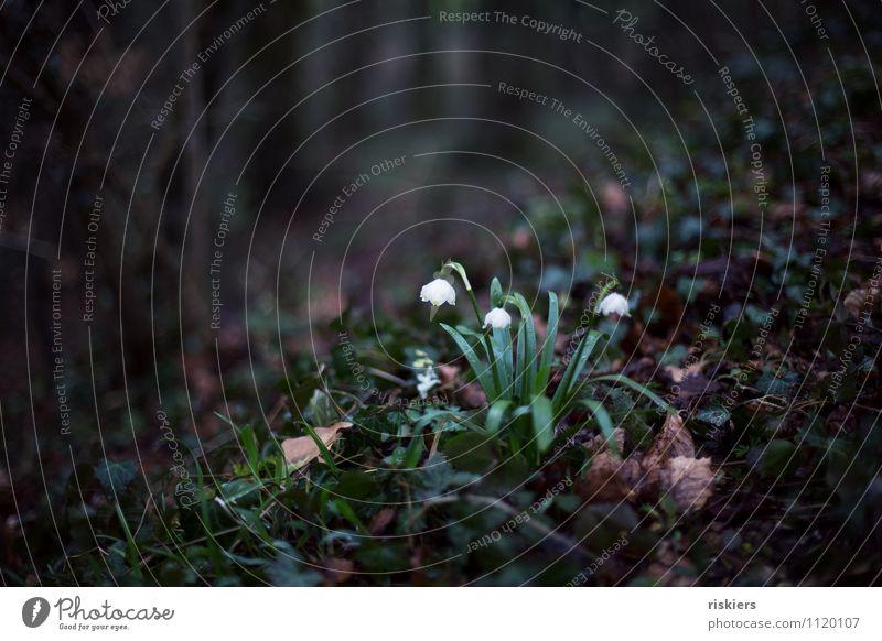 verwunschen Umwelt Natur Pflanze Frühling Blume Efeu Märzenbecher Wald Blühend dunkel Einsamkeit Verhext Märchen Märchenwald Farbfoto Außenaufnahme Menschenleer