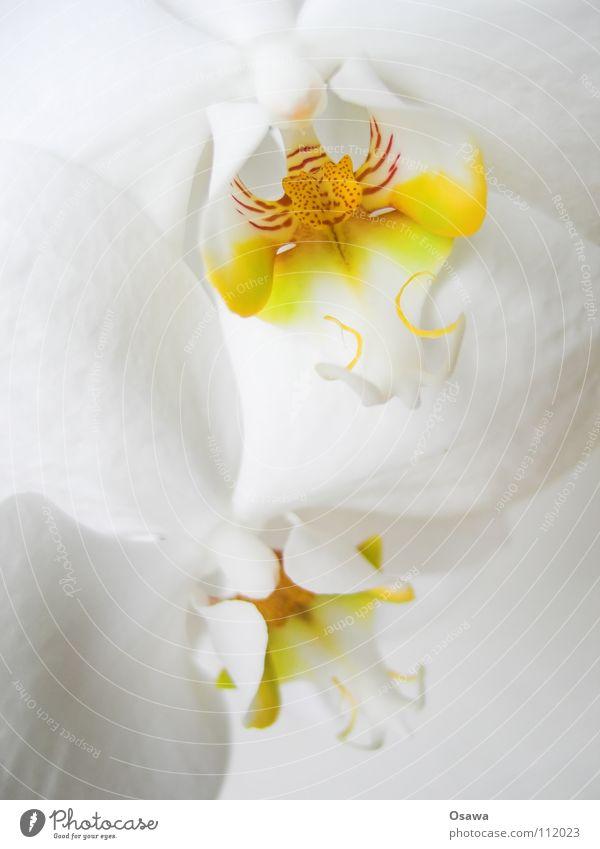 Blümchen I Orchidee Blume 2 Blüte weiß gelb rot zart zerbrechlich Flowers orange