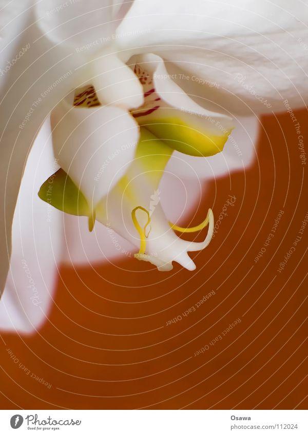 Blümchen II Orchidee Blume 2 Blüte weiß gelb rot zart zerbrechlich Flowers orange