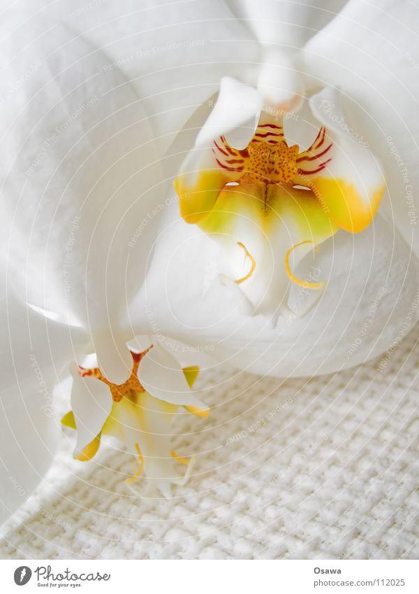 Blümchen III weiß Blume rot gelb Blüte 2 orange zart Orchidee zerbrechlich