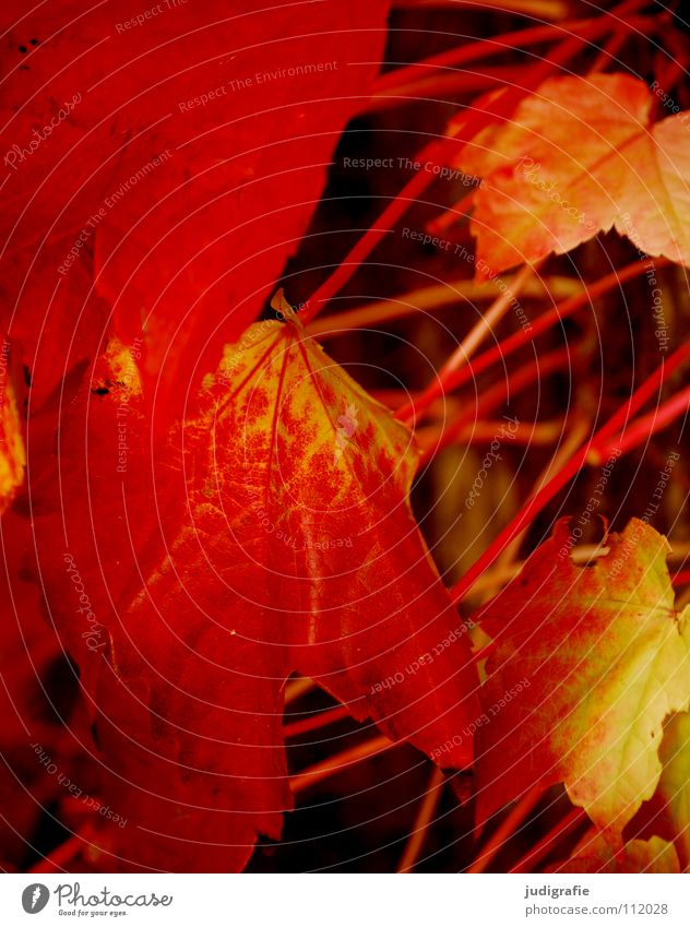 Herbst Natur rot Blatt gelb Farbe Wachstum Wein Stengel
