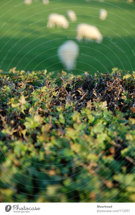 Unschafe Schaf Hecke Unschärfe Tiefenschärfe grün Tier Säugetier Republik Irland Natur