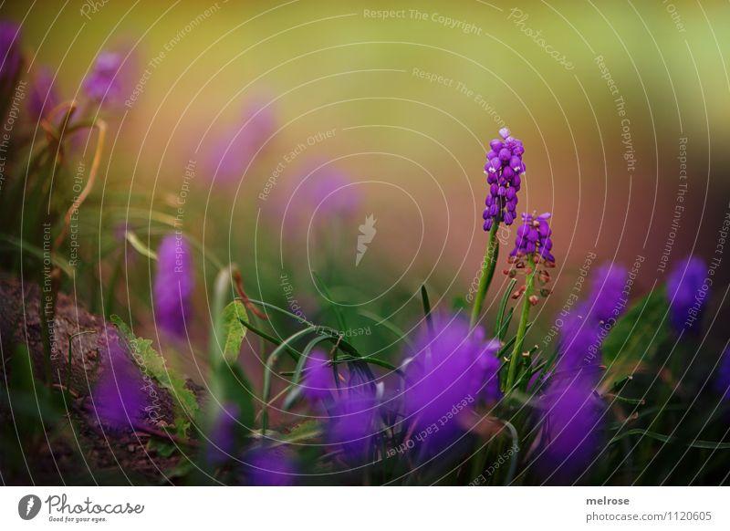 Traubenhyazinthen elegant Stil Natur Pflanze Erde Sommer Schönes Wetter Blume Gras Moos Blatt Blüte Wildpflanze Spargelgewächse Kapselfrucht Löwenzahnblätter