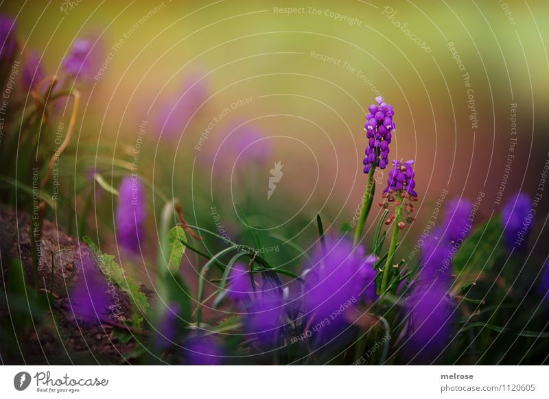 Traubenhyazinthen Natur Pflanze schön grün Sommer Erholung Blume Blatt Blüte Gras natürlich Stil braun Zusammensein Zufriedenheit leuchten