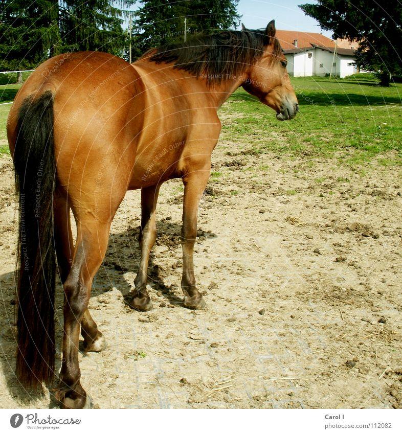 von hinten geknipst Pferd Fohlen Ausritt Gras Haag schwarz braun Haus Tanne Huf Hufeisen Mähne Schwanz Schweiz bereit Fell striegeln stehen Säugetier