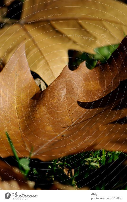 Blätter im Herbst Natur Blatt Herbst braun Gefäße Ahorn