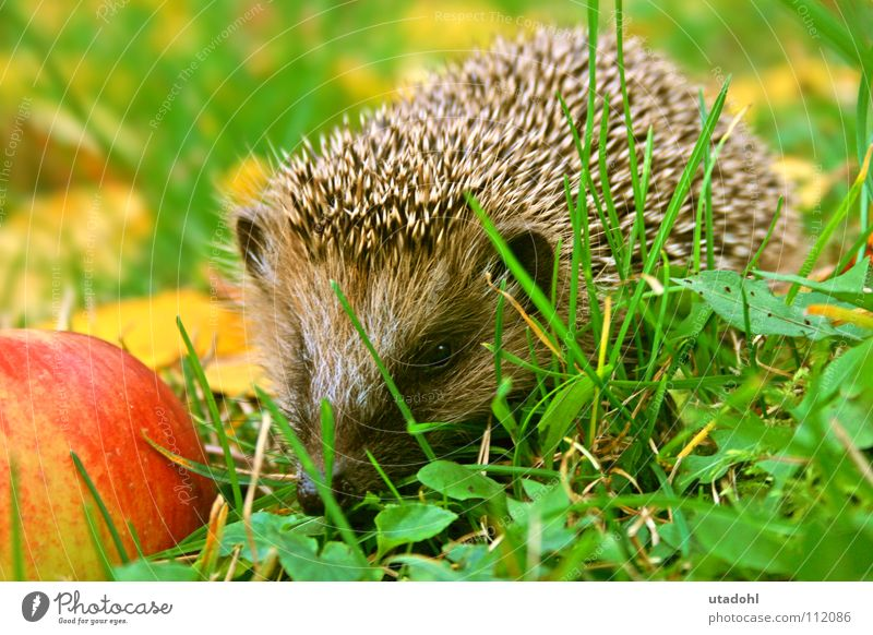 Igelsche Winter Blatt Tier Herbst Gras Garten fallen Apfel Fressen Säugetier stachelig Stachel