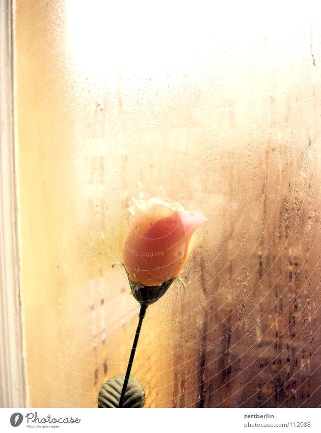 Montagsrose Rose Blume Fenster Glasscheibe durchsichtig Kondenswasser Feuchtgebiete Verkehrswege Nachbar Neugier Häusliches Leben Dekoration & Verzierung Herbst