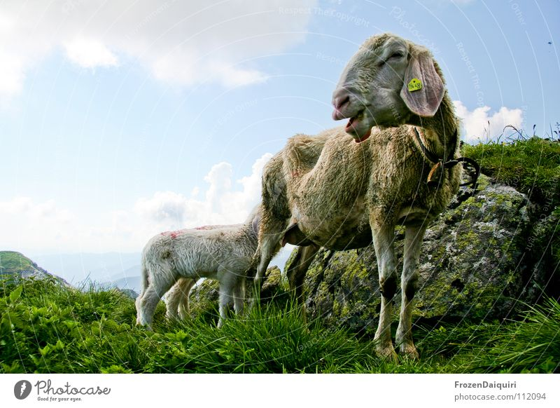 sheep Himmel Natur grün weiß Wolken Tier Berge u. Gebirge Gras Stein Felsen Landwirtschaft Alpen Weide Säugetier Fressen Schaf