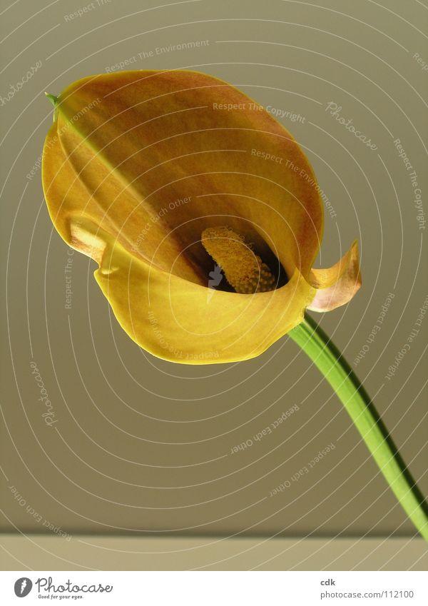 Blume mit Stil Natur grün schön Pflanze Freude Farbe gelb Leben Blüte elegant groß außergewöhnlich mehrere Wachstum