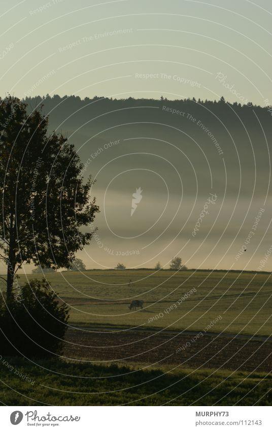 Herbstliche Morgenstimmung auf dem Lande Stimmung Baum Kuh Nebel Morgennebel Nebelbank Wald Wolken Feld Säugetier Morgendämmerung Vogel im Flug Weide Himmel