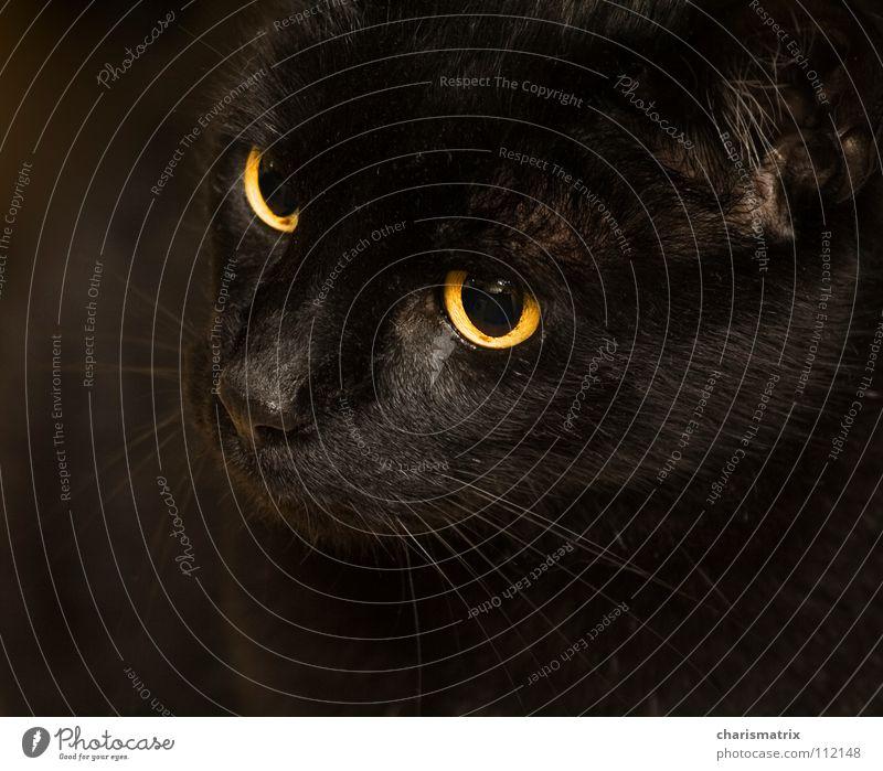 Herr Maron Katze schwarz Bernstein Haustier Säugetier Hauskatze black