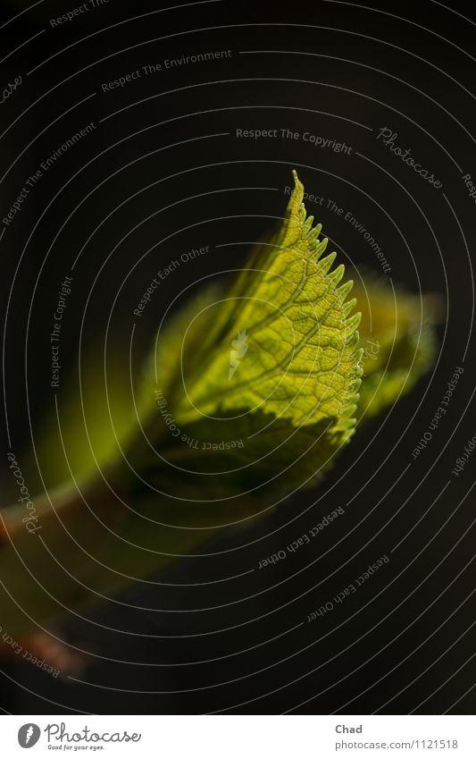 Horten Sie 2 Natur Pflanze grün Erholung Blume Blatt ruhig schwarz Umwelt Leben Frühling Gefühle ästhetisch entdecken filigran Blattadern