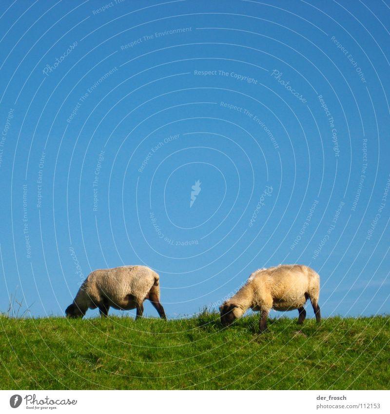 rasenmäher Himmel grün blau Wiese Gras Schaf Säugetier Wolle Deich Rasenmäher
