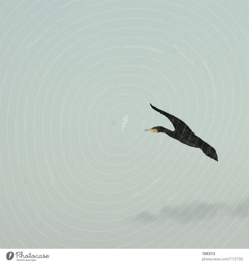 FLIEG, KLEINE MAUS Vogel Wolken Himmel Luft gleiten Kormoran Bremen Gleitflug nähern Manöver frei Schweben Segeln Sturzflug Tier See Meer Küste Luftverkehr