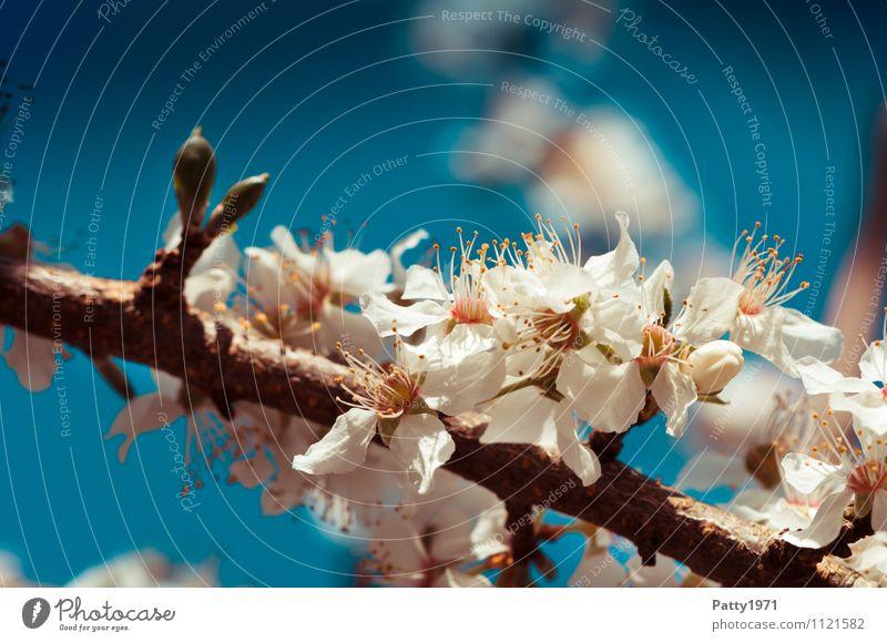Kirschblütenzweig Natur blau Pflanze weiß Baum Blüte ästhetisch Ast Blühend Schönes Wetter Zweig Wolkenloser Himmel