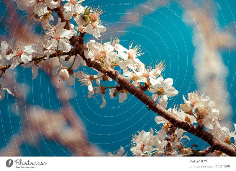 Kirschblütenzweig Frühling Schönes Wetter Pflanze Baum Blüte Zweig Ast Blühend ästhetisch blau weiß Natur Farbfoto Außenaufnahme Tag