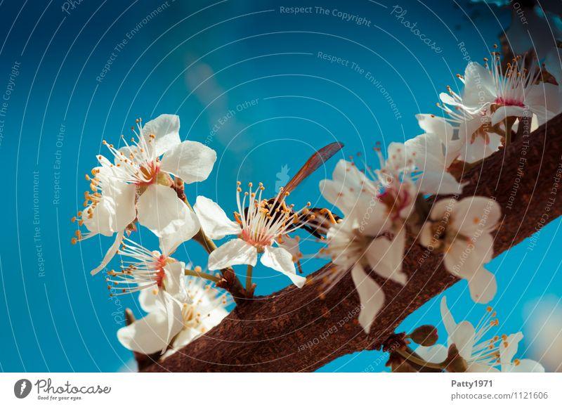 Kirschblütenzweig mit Wespe Natur Wolkenloser Himmel Frühling Schönes Wetter Pflanze Baum Blüte Zweig Ast Insekt Wespen 1 Tier Blühend ästhetisch blau weiß