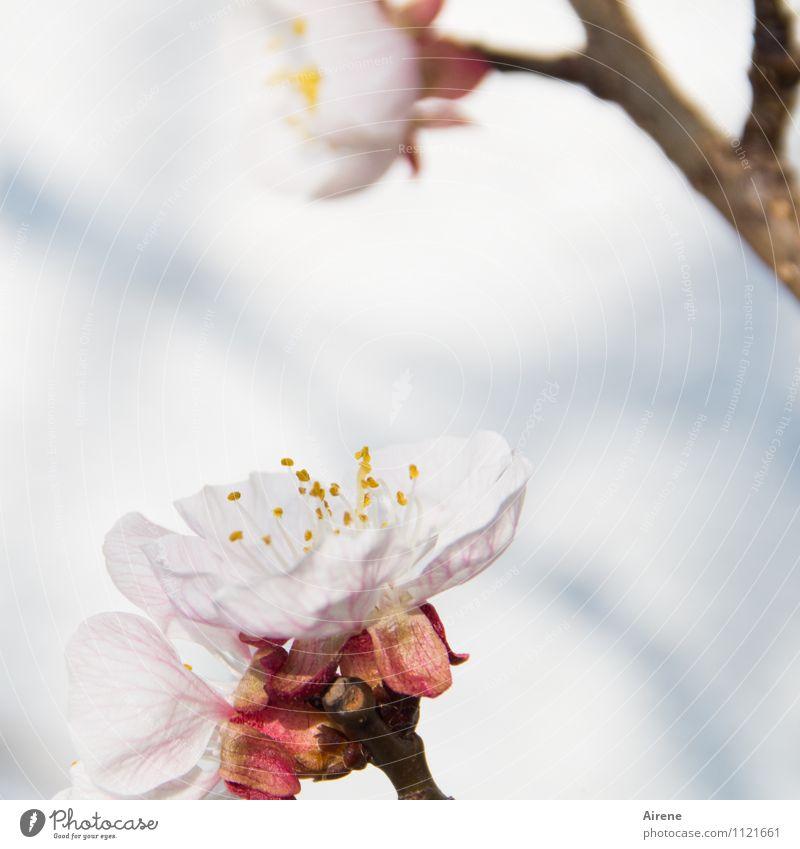 ...Frühling werden Schönes Wetter Pflanze Baum Blüte Obstbaum Aprikosenbaum Aprikosenblüte Obstbaumblüte Baumblüte Garten Blühend Freundlichkeit hell natürlich
