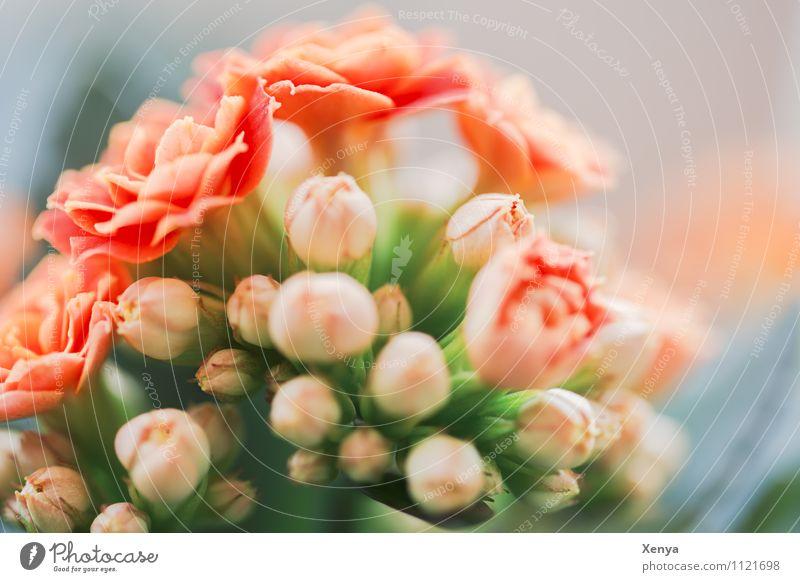 Aufgeblüht Pflanze Blume Topfpflanze Flammendes Käthchen Blühend grün orange Frühlingsblume Makroaufnahme Menschenleer Unschärfe