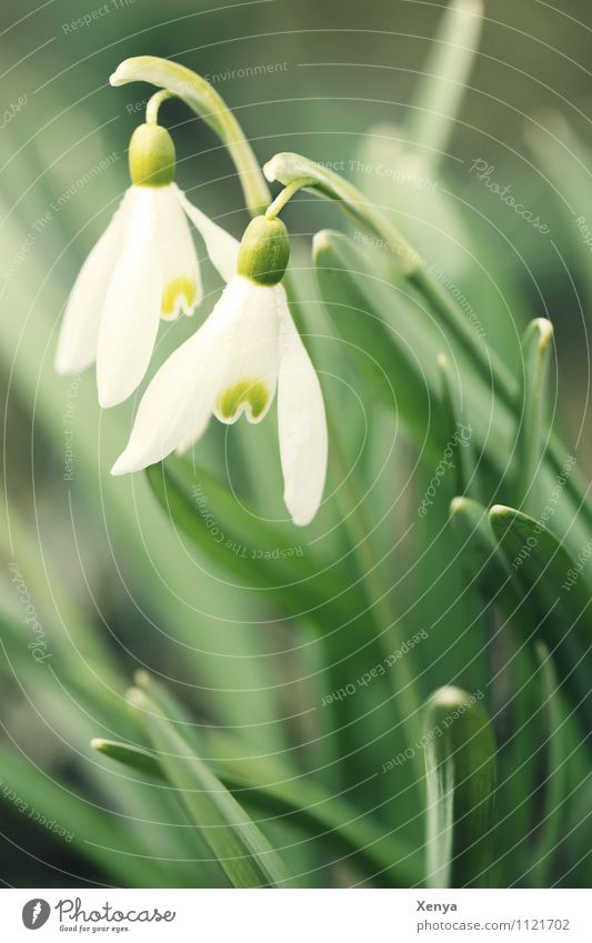 Schneeglöckchen Natur Pflanze Blume Blatt Blüte Gartenpflanzen Blühend grün weiß Frühlingsgefühle Vorfreude 2 Außenaufnahme Menschenleer Textfreiraum unten Tag