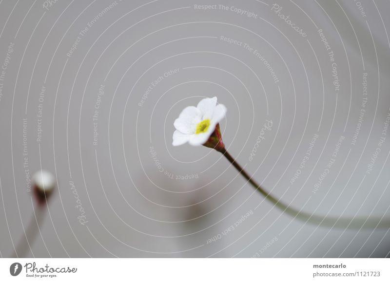 mininatur Natur Pflanze weiß Blume Blatt Umwelt Frühling Blüte natürlich klein grau wild frisch authentisch einfach niedlich