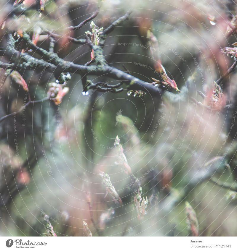 im Dickicht Pflanze Wassertropfen Frühling schlechtes Wetter Regen Baum Sträucher Blattknospe Blütenknospen Zweige u. Äste felsenbirne Wachstum Flüssigkeit nass