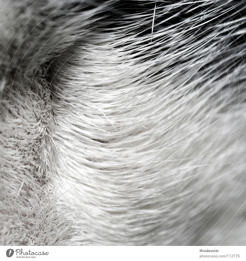 kwadrat V Katze weiß schwarz Haare & Frisuren Wellen Ordnung weich Sauberkeit Fell lang Säugetier Hauskatze Schwung Streicheln gähnen Floh