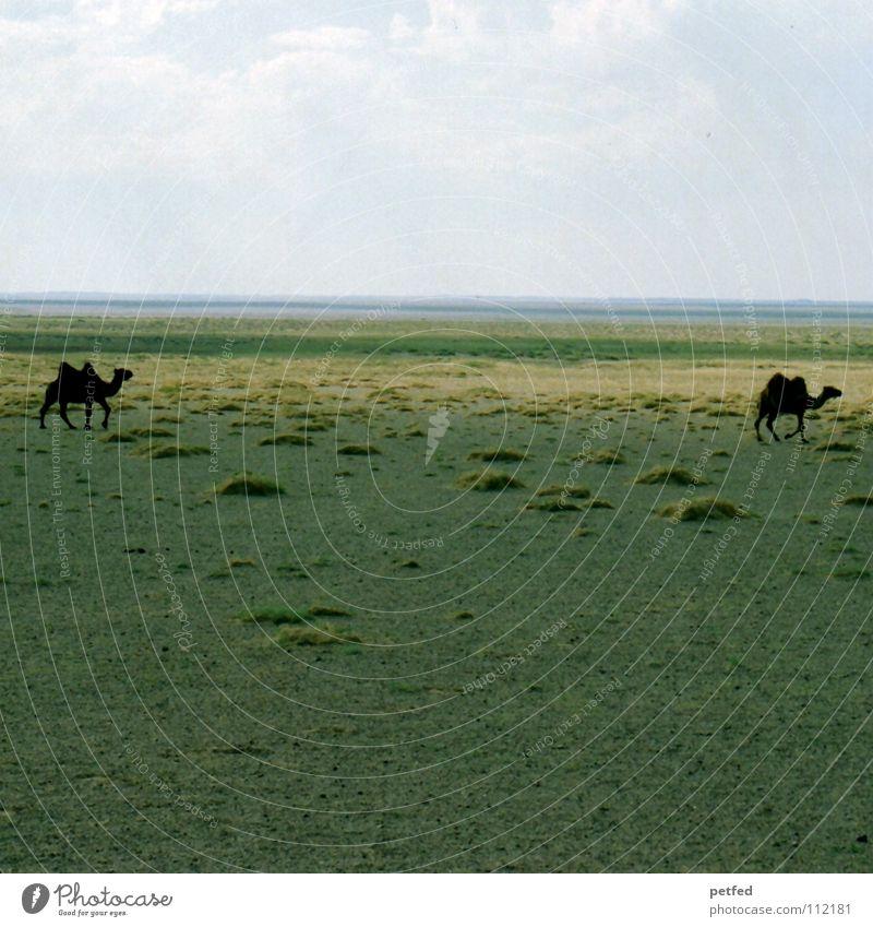 Zwei in der Gobi Mongolei Asien wandern Ferien & Urlaub & Reisen Steppe träumen fahren Geländewagen Abenteuer Unendlichkeit Kamel Tier Einsamkeit Horizont Wüste