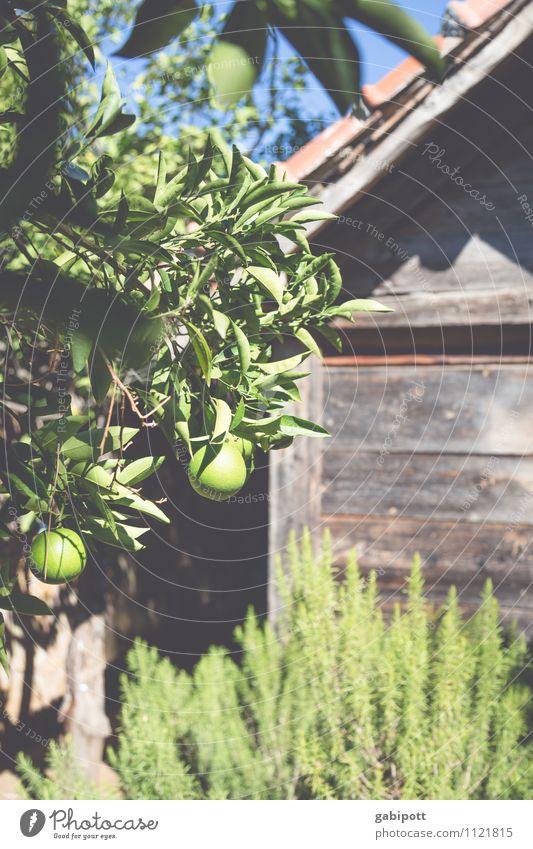 frische Zitronen an Rosmarin Natur Ferien & Urlaub & Reisen Pflanze grün Sommer Sonne Baum ruhig Umwelt Garten Zufriedenheit Tourismus Sträucher genießen Lebensfreude Schönes Wetter