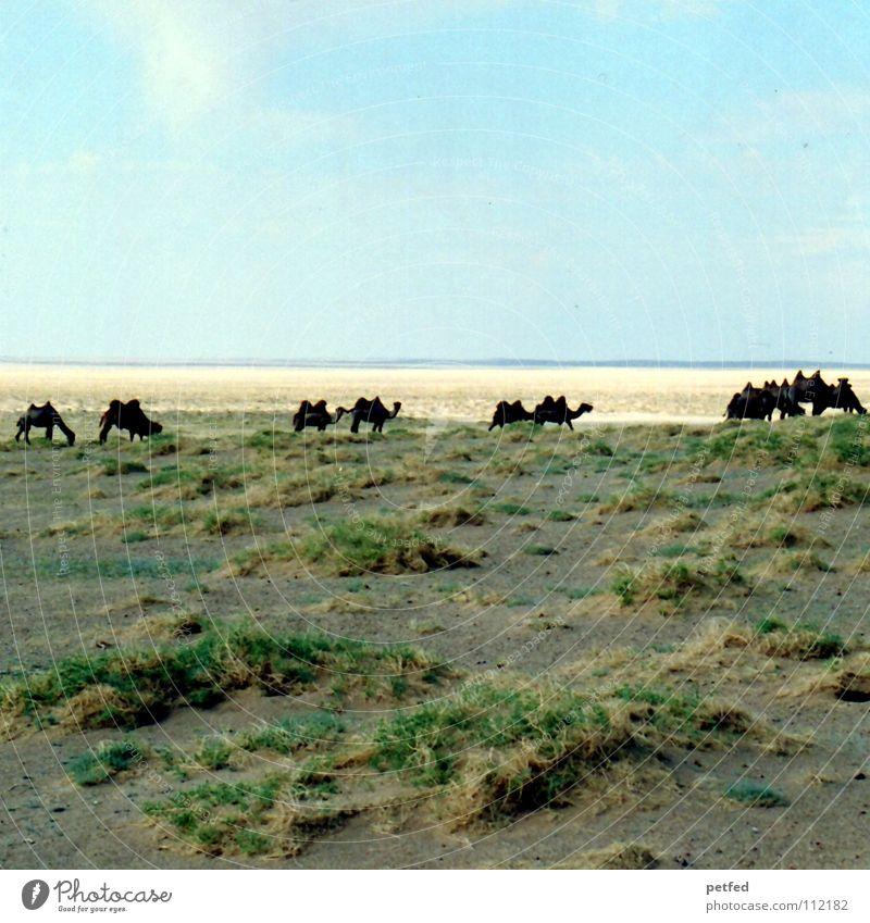 Viele in der Gobi Mongolei Asien wandern Ferien & Urlaub & Reisen Steppe träumen fahren Geländewagen Abenteuer Unendlichkeit Kamel Tier Einsamkeit Horizont