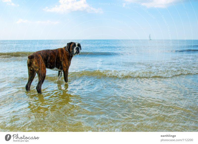 Herrchen, komm bald wieder! Hund Meer See Strand Sorge Sehnsucht Wolken Treue Menschenfreund Querformat Digitalfotografie Wellen Meerwasser Sommer Segelboot