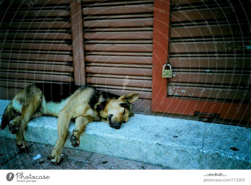 Geschlafen wie ein Hund blau rot Tier Farbe Hund analog Burg oder Schloss Tor Müdigkeit Schwäche Chile Südamerika Deutscher Schäferhund Valparaíso