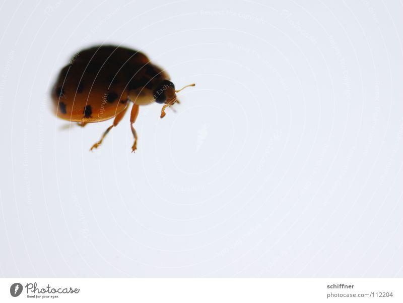 Lichtliebe Marienkäfer Insekt Schiffsbug Fühler Beine Leuchttisch krabbeln Neugier vorwitzig niedlich Käfer Achtpunktkäfer Gekrabbel wuseln Makroaufnahme