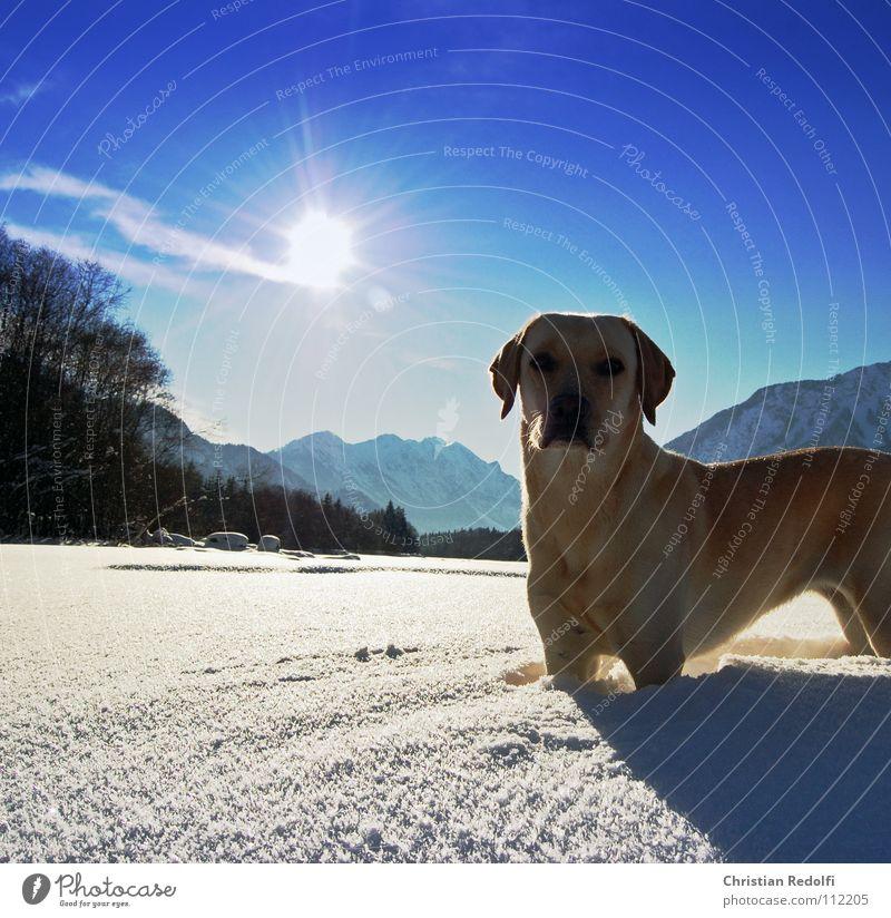 Gioja Labrador Hund Intuition Schneelandschaft Wetter Winter kalt Konzentration Kehre Hunde atake Fluss Lech Schatten Jagd Sonne Landschaft Wende
