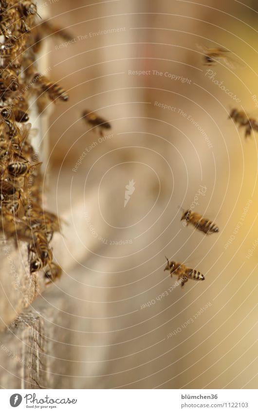 Voller Einsatz Tier Nutztier Wildtier Biene Honigbiene Insekt Schwarm Bienenstock fliegen tragen authentisch klein natürlich Teamwork Arbeit & Erwerbstätigkeit