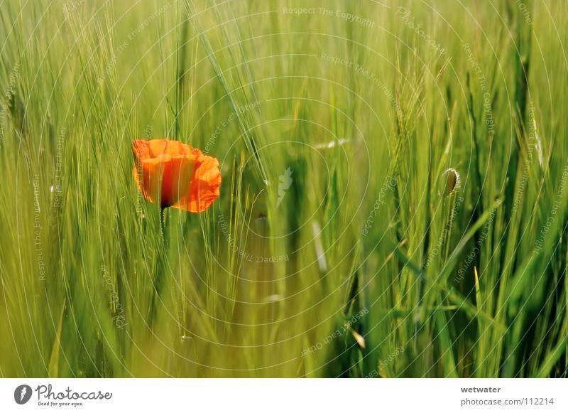 roter Fleck Blume Mohn Wiese Klatschmohn Feld Gerste Gegenlicht zart Unschärfe Sommer red meadow flower field konrast